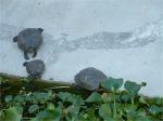 les tortues carnivores...